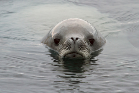 minke: portrait crabeater seal floating  in Antarctic waters
