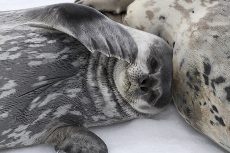 minke: Weddell seal pup lying beside a female on the ice in Antarctica