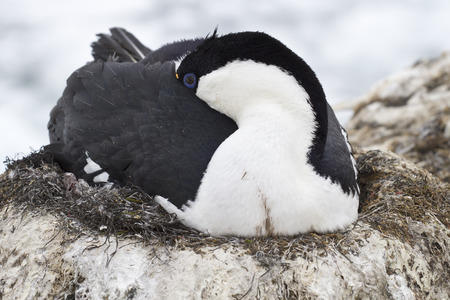 phalacrocorax atriceps: Antarctic blue-eyed cormorant sleeping during incubation laying in the nest