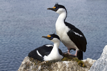 phalacrocorax atriceps: Male and female blue-eyed Antarctic shag at the nest in the colony Stock Photo