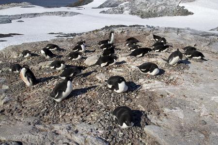 pinguinera: Colonia de ping�inos Adelie en una de las islas ant�rticas d�a soleado Foto de archivo