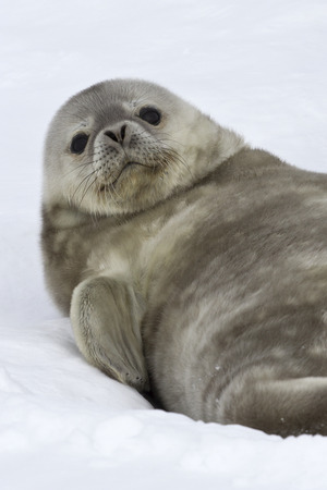 Weddell seal pup who lies on the snow lifted his head up