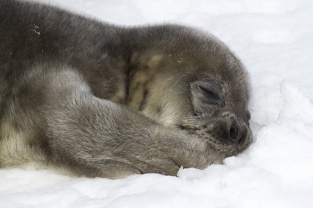 Weddell seal pup lying on snow and holding his paw in his mouth Imagens
