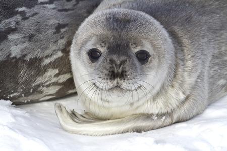 minke: little pup Weddell seals which lies near the female
