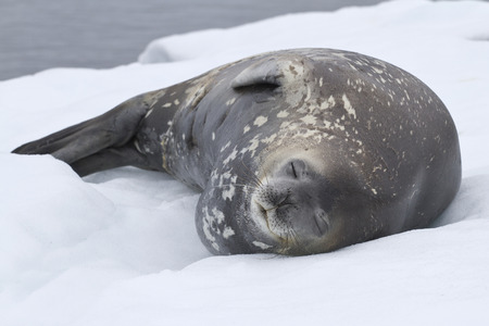weddell: adult Weddell seal which lies in the snow Antarctic Islands