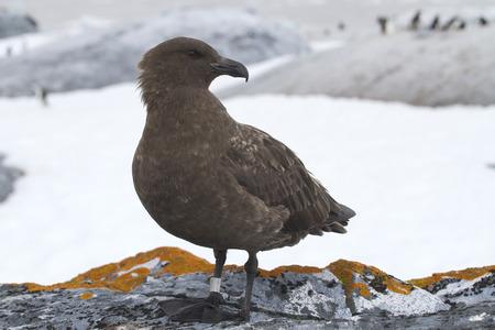 pinguinera: Ant�rtida Skua de pie sobre una roca en un fondo de la colonia de ping�inos Adelia Foto de archivo