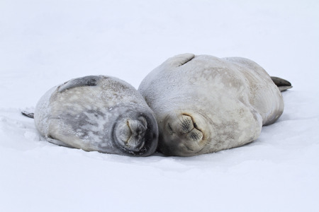 female and a large puppy Weddell seals lying on the ice in Antarctica