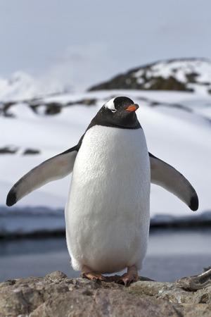 pinguinera: Gentoo ping�inera que se encuentra en sus alas extendidas