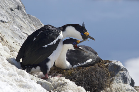 pair of blue-eyed Antarctic cormorant on the nest on a hillside in the colony Stock Photo