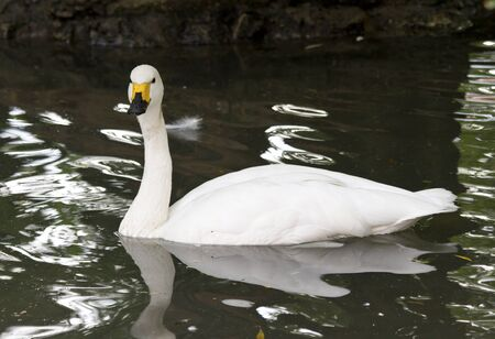 tundra swan: small or tundra swan floating on a small lake in the autumn Stock Photo