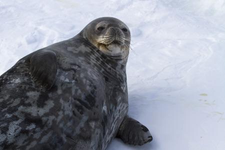 weddell: female Weddell seal lying in the snow winter day