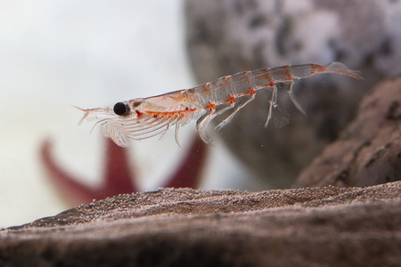 Antarctic krill, which floats in the water near the rocks Stock Photo