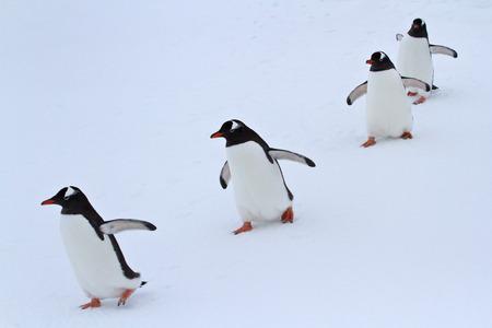 Gentoo penguin group walking in the snow Antarctic islands Imagens