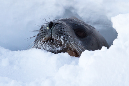 weddell: Weddell seal head that looks out of holes in the ice of the Antarctic Strait Stock Photo