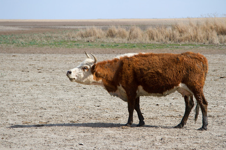 ungulates: cow of the Kalmyk breed on the shores of the lake drying up