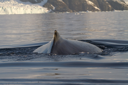 minke: back  and fin and humpback whales in Antarctic waters