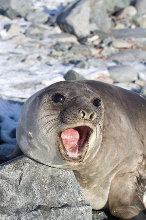 minke: Young southern elephant seal that roars