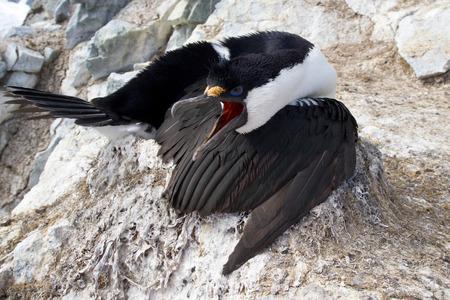 phalacrocorax atriceps: Antarctic blue-eyed cormorant sitting on a nest with open beak Stock Photo