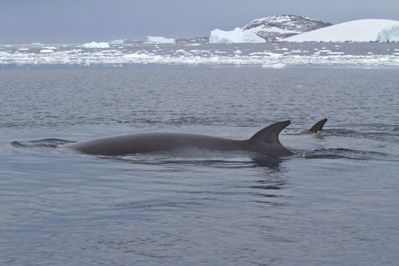 minke: Minke whale two floating in the strait between the islands of the Antarctic