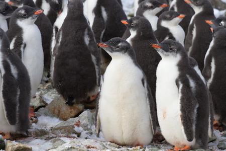 pinguinera: kindergarten Gentoo ping�inera cerca