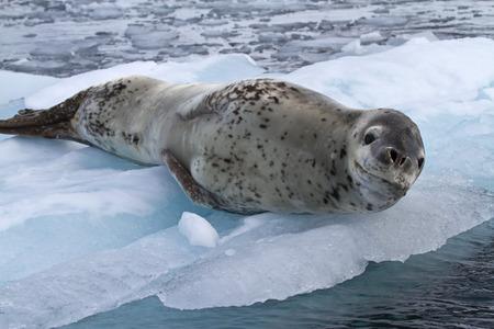 large female leopard seal lying on ice floe