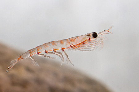 Antarctic krill floating in the water in Antarctic water