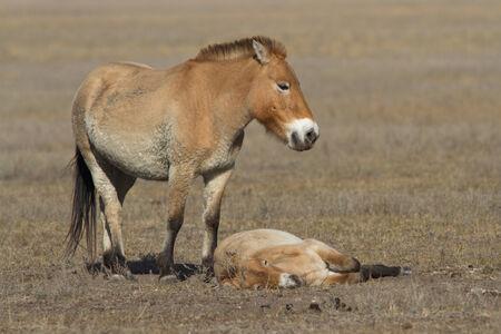 mare and foal Przewalski photo