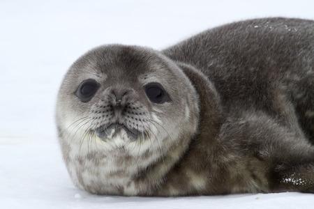 weddell: portrait of a puppy Weddell seal spring Antarctic day
