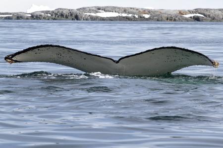 white tail: megattera che si tuffa nelle acque antartiche con una coda bianca Archivio Fotografico