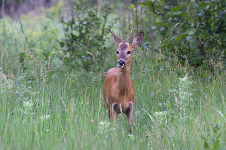 roebuck: young male deer that comes in the early morning on a meadow in the woods Stock Photo