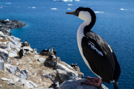 phalacrocorax atriceps: Antarctic blue-eyed cormorant sitting on a rock on a background of the colony Stock Photo