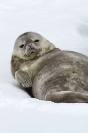 weddell: Weddell seal pup lying in the snow on his back and looking forward