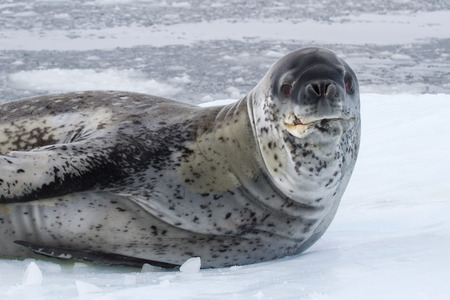 large male leopard seal sea on an ice floe which raised his head