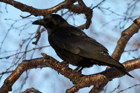 carrion: Carrion Crow which siit on a branch stone birch autumn day