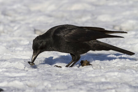 carrion: Carrion Crow that eats molluscs on the ocean Stock Photo
