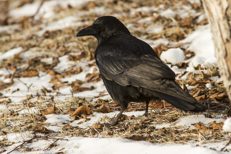 Eastern black crow is sitting on the ground sunny winter day