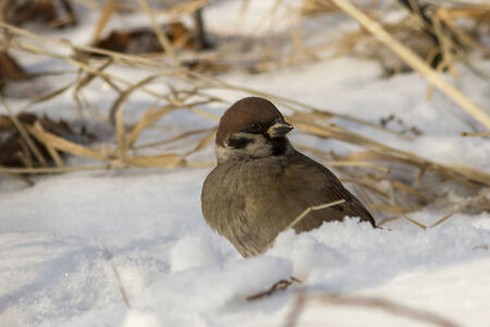 Tree Sparrow sitting in the snow winter day Stock Photo