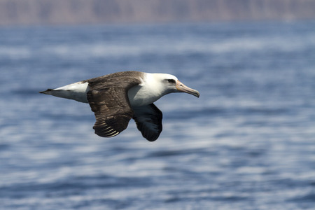 Laysan albatross that flies over the waters near the Commander Islands