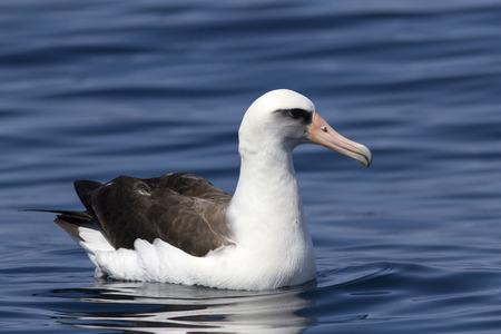 commander: Laysan albatross sitting on the waves near the Commander Islands