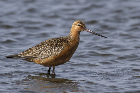 Siberian bar-tailed godwit which feeds in shallow water in the spring day