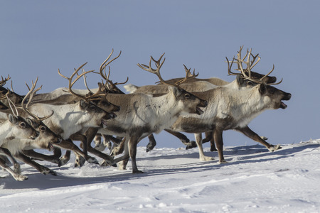 A herd of reindeer that runs on snow-covered tundra sunny winter day