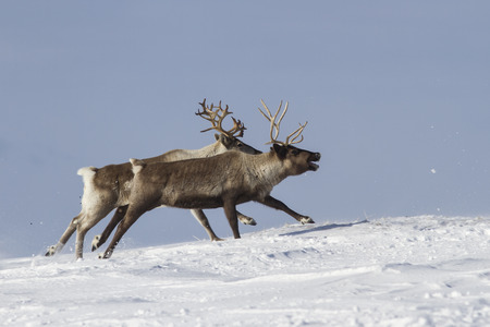 tundra: The two reindeer running on snow-covered tundra