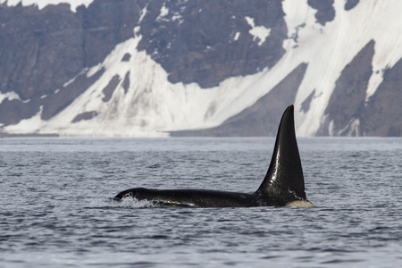 male killer: male killer whale who swims against the backdrop of Bering Island