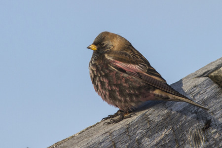 finch: rosy finch sitting on the roof of a sunny winter day