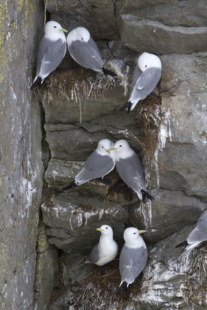 steep cliffs: The colony of black-legged kittiwake on the steep cliffs of the island in the Pacific Ocean Stock Photo