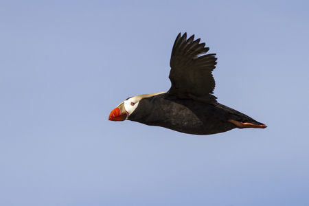 puffin: tufted puffin  that flies over the colony summer day Stock Photo