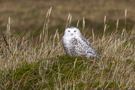 snowy owl: female snowy owl that sits in the tussock tundra in the sunny day