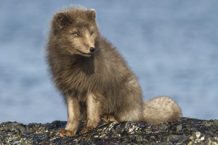 commander: Commander arctic fox sitting on the beach sunny winter day