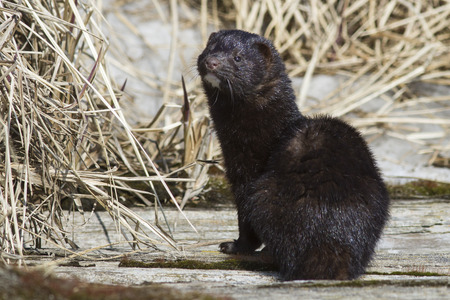 American mink which sits on a wooden bridge over the river