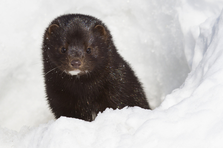 Portrait of an American mink which looks out from a snow hole Imagens